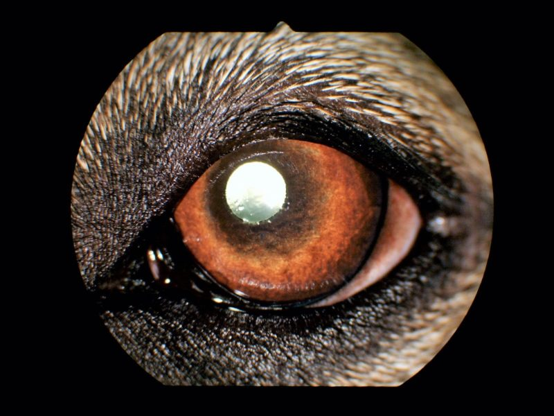 Bild 1 Gesundes Hundeauge