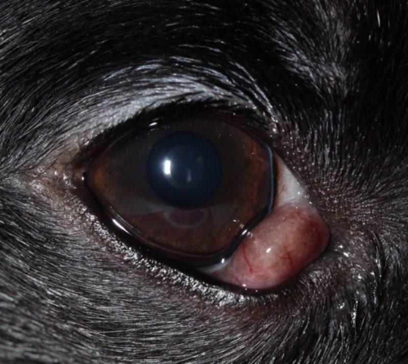Voigt Abb 2 Vorfall Nickhautdruse Rechtes Auge