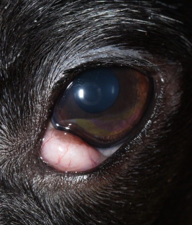 Abb 3 Vorfall Nickhautdruse Linkes Auge
