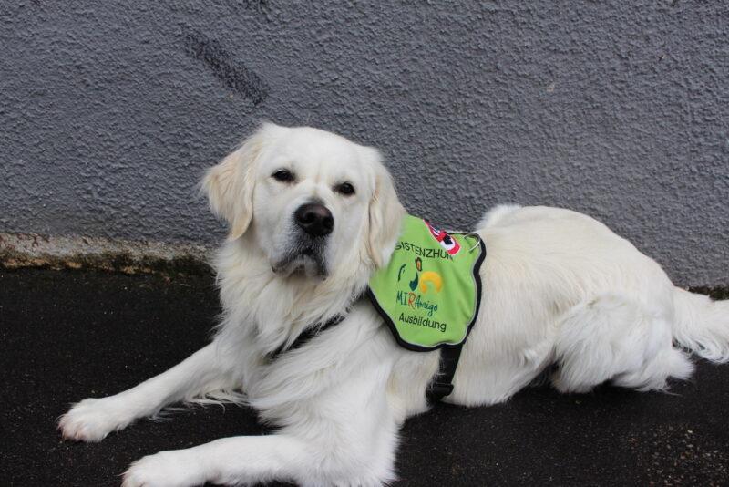 Waehrend der ausbildungszeit traegt der assistenzhund azubi eine ausbildungskenndecke