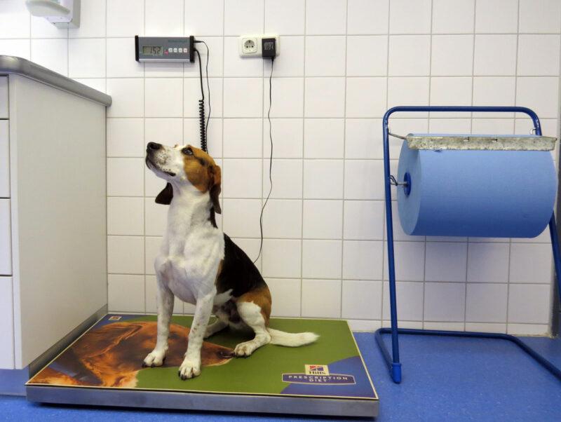 08 Hund Oskar auf der Tierwaage LMU Munchen