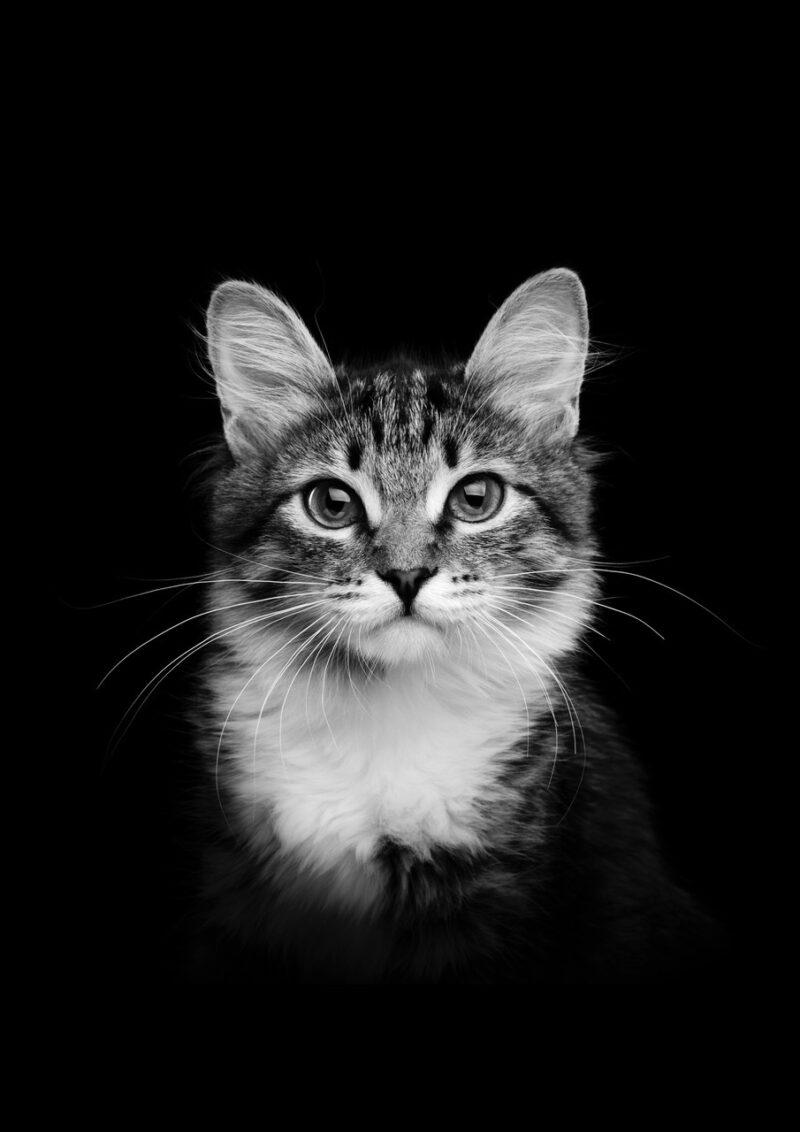 CAT Portrait 2 Black BG