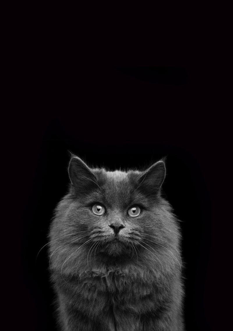 CAT Portrait 1 Black BG