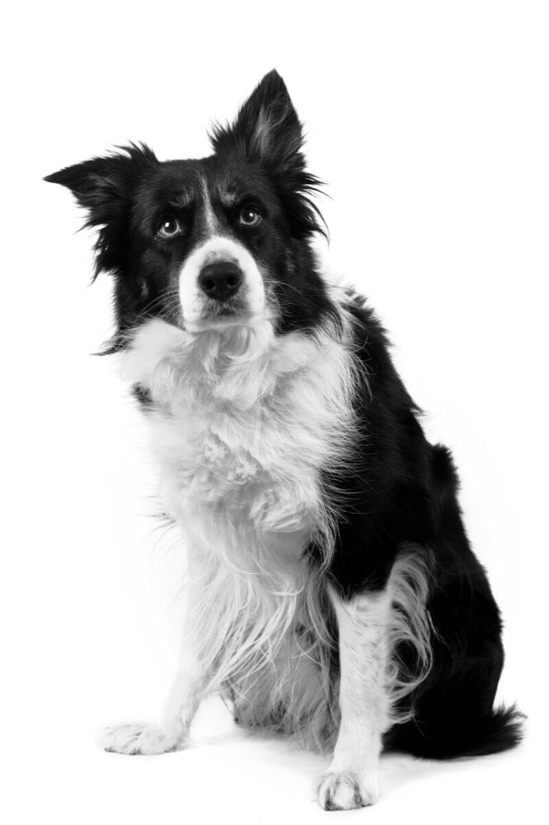 Border collie 37431072 grey