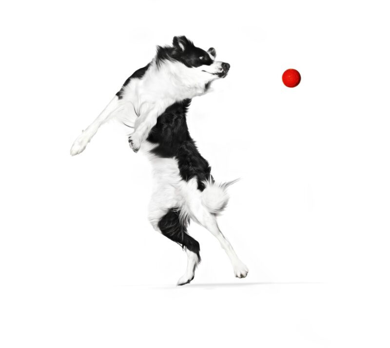 BORDER COLLIE ADULT SPORTING with red Ball SHN EMBLEMATIC Med Res Basic
