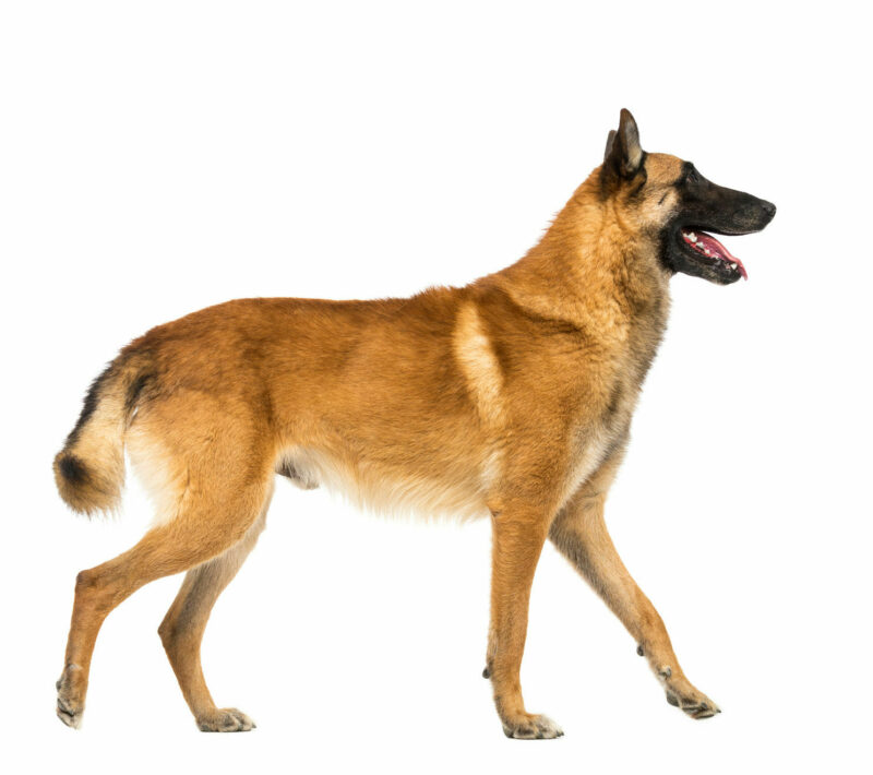 Belgian Malinois Sheepdog Med Res Basic