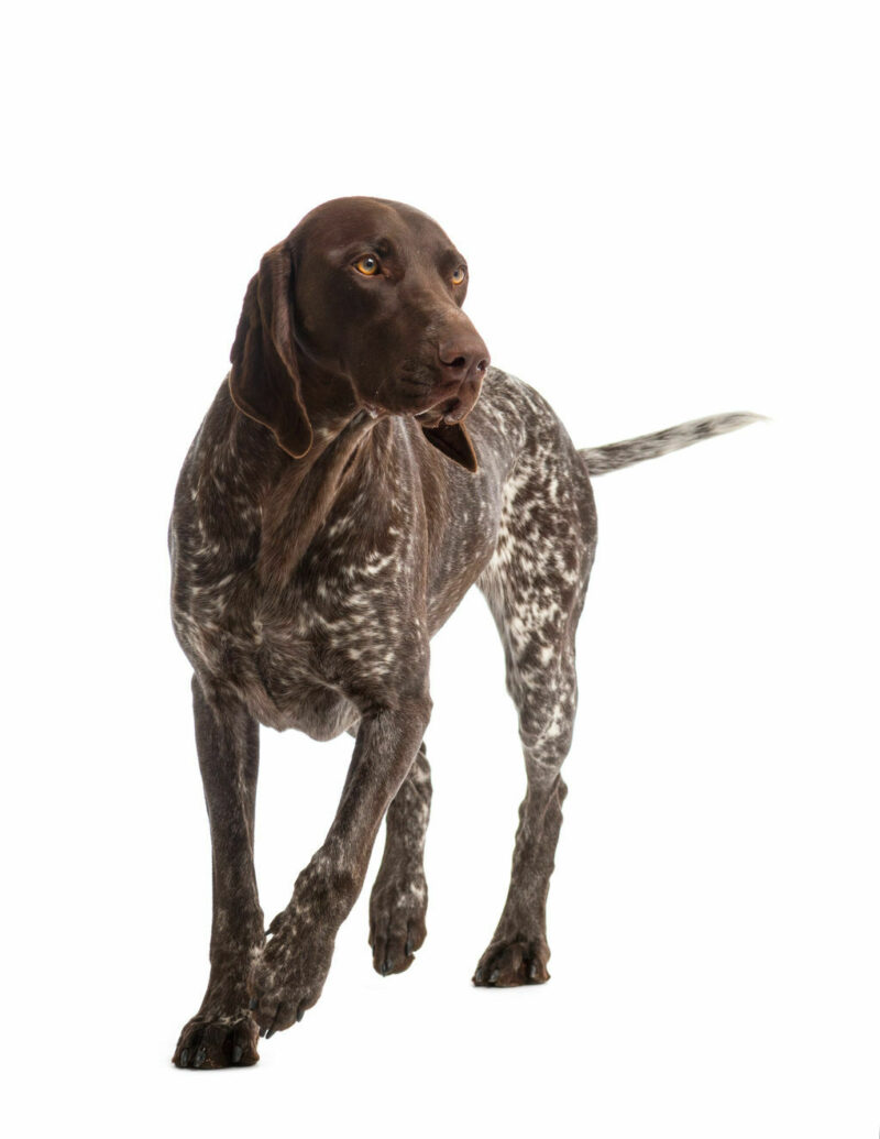 German Short Haired Pointer Med Res Basic