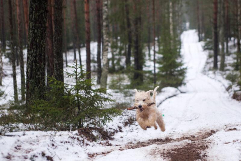 Hund Schnee 03 473X316
