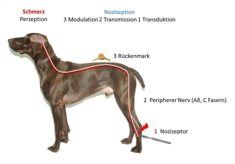Pain pathways dog