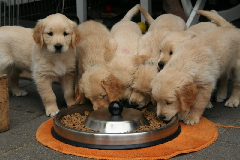 Golden retriever puppy 2706672 1280 1
