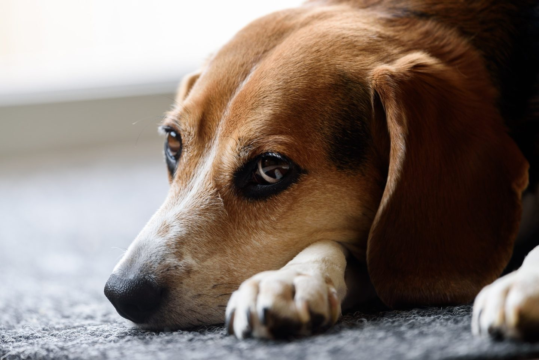 srma beim beagle wenn sich der junge hund pl tzlich. Black Bedroom Furniture Sets. Home Design Ideas