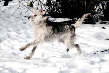 Hund Schnee 02 473X316